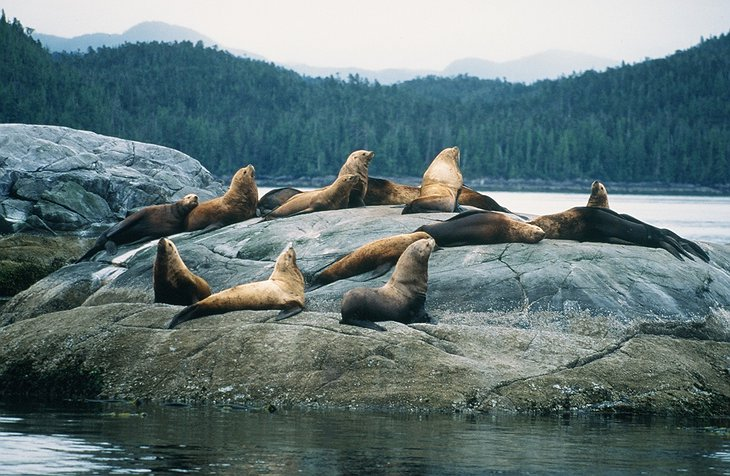 Sea Lions In The Wilderness Of Canada