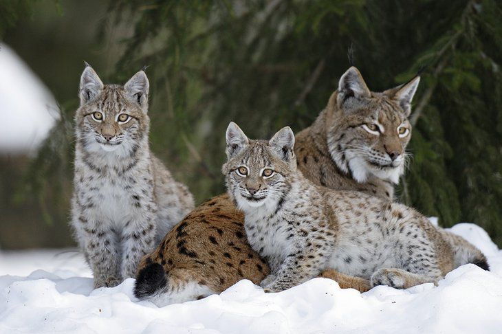 Lynx family in the snow