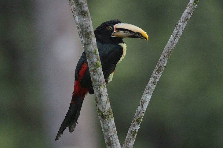 Pale Mandible Aracari