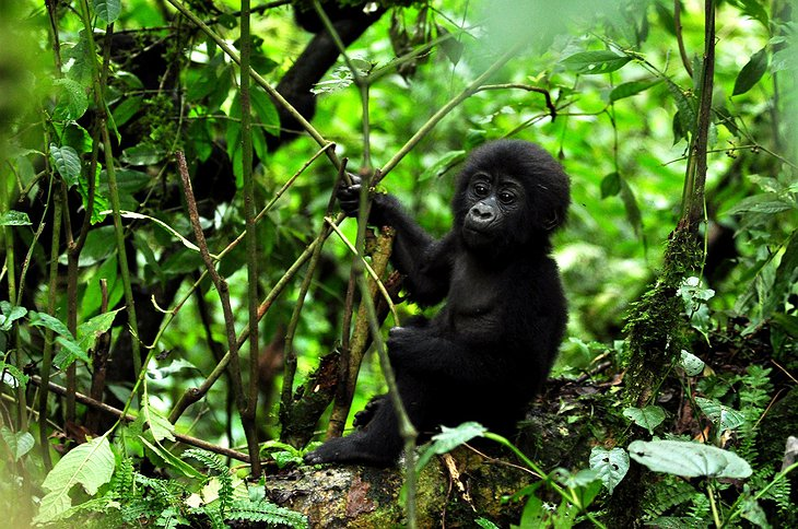 Tiny gorilla in the forests of Uganda