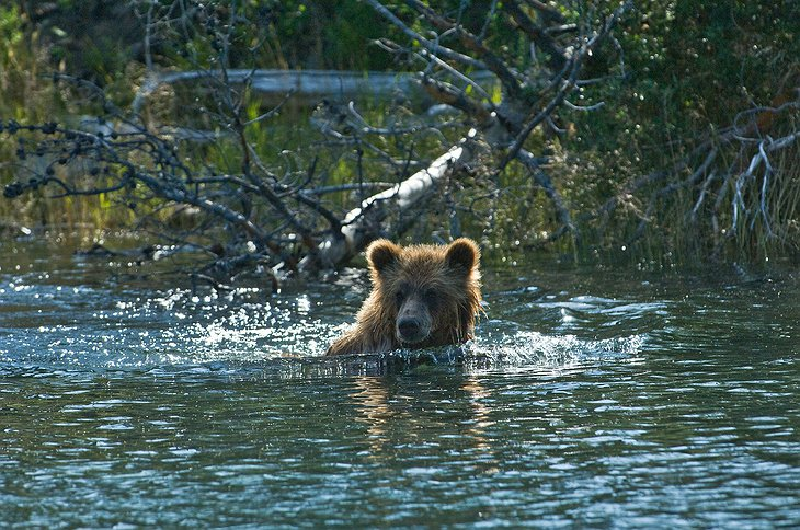Grizzly bear at Chilcotin
