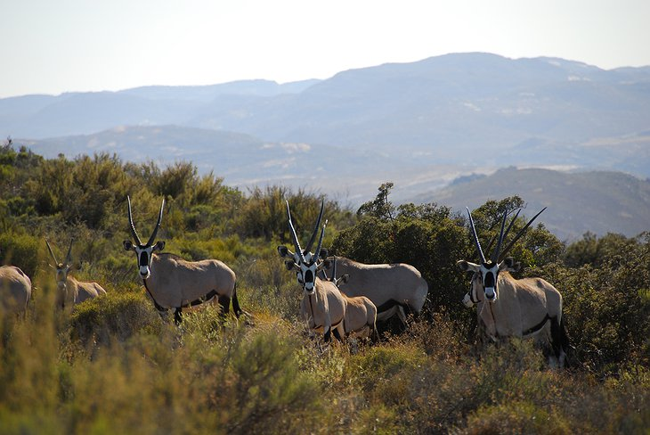 Antelopes in Springbok