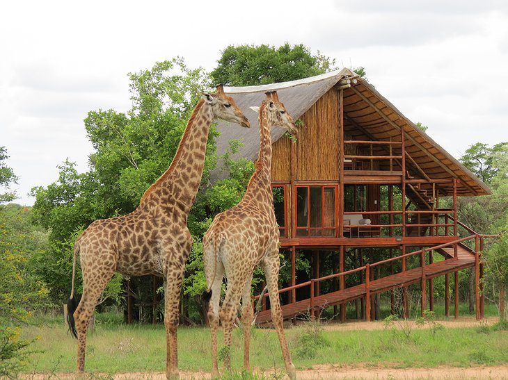 Giraffes at Pezulu