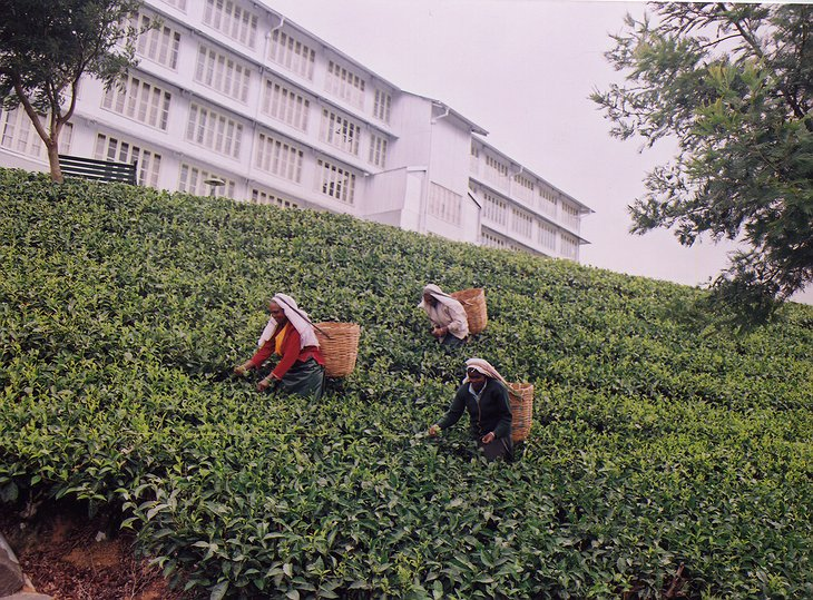 Tea plantation in front of Heritance Tea Factory hotel