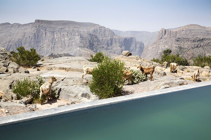 Anantara Al Jabal Al Akhdar Resort pool and goats