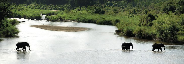 Elephants in the river panorama