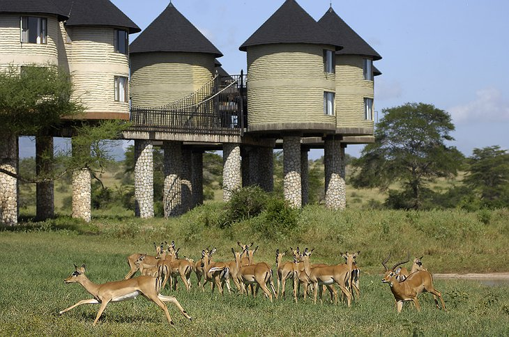 Sarova Salt Lick Game Lodge with wildlife around