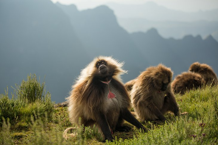 Simien Mountains National Park monkeys