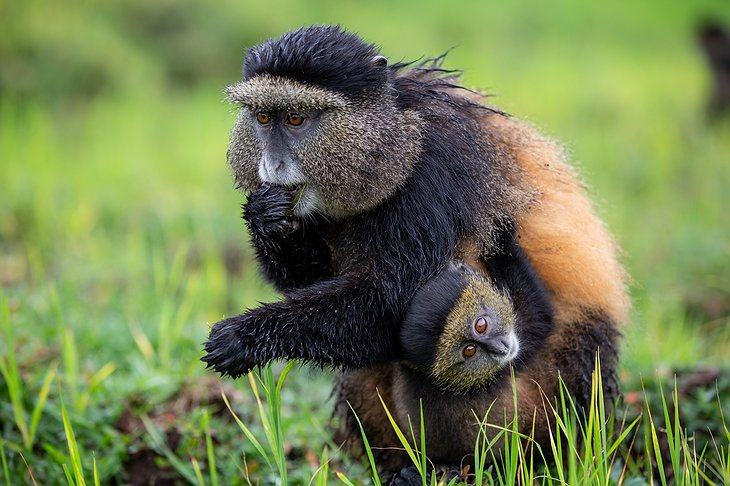 Golden monkey mother with a small baby