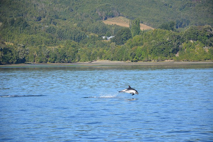 Dolphins in the Pullao Bay