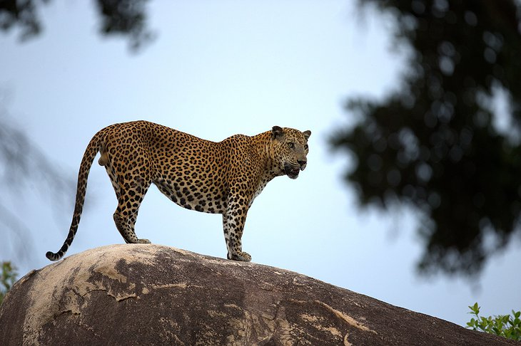 Yala National Park leopard