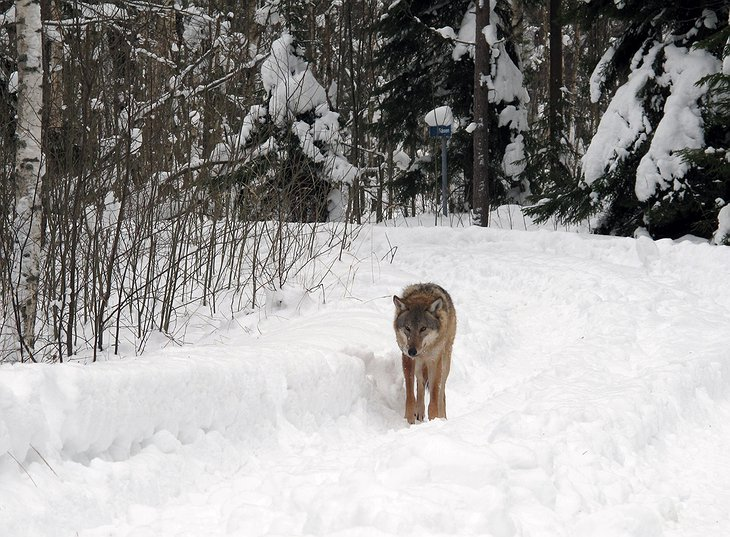 Wolf on the snowy road