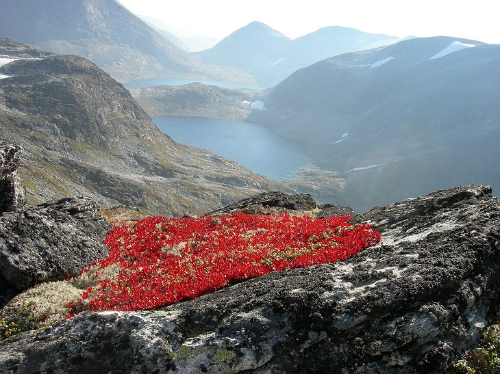 Red flowers on the top of the Norwegian mountain