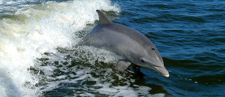 Dolphin at the Xinalani beach