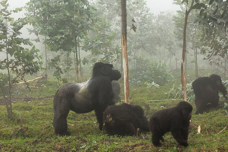 Mountain Gorillas At The Volcanoes National Park