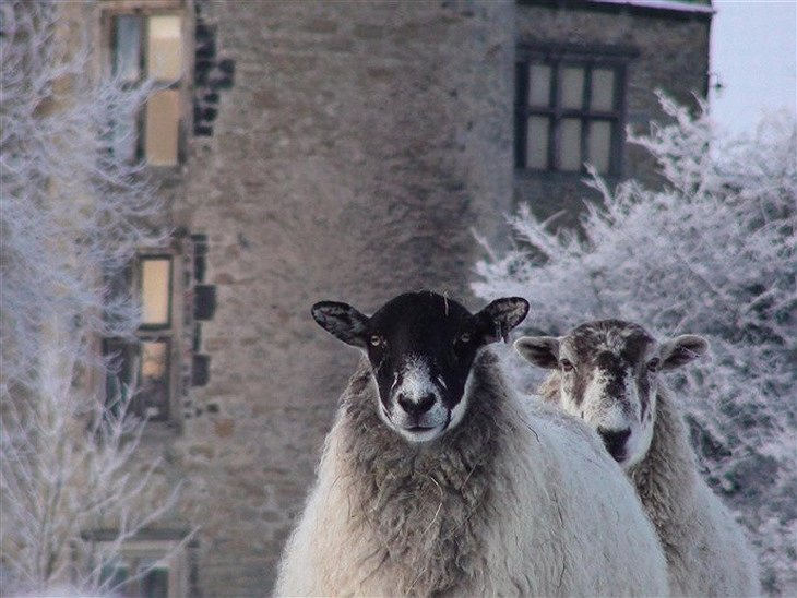 Walworth Castle and goats
