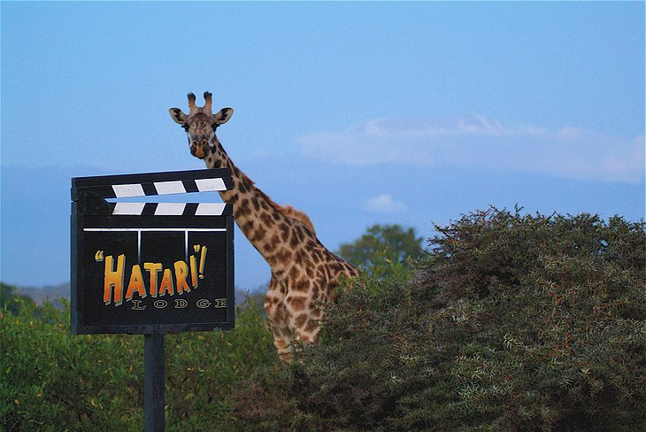 Hatari Lodge sign and a giraffe