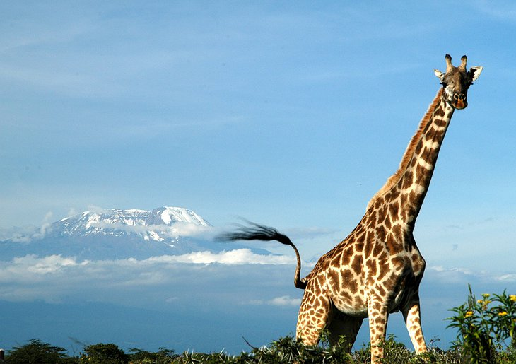 Giraffe with Kilimanjaro in the background
