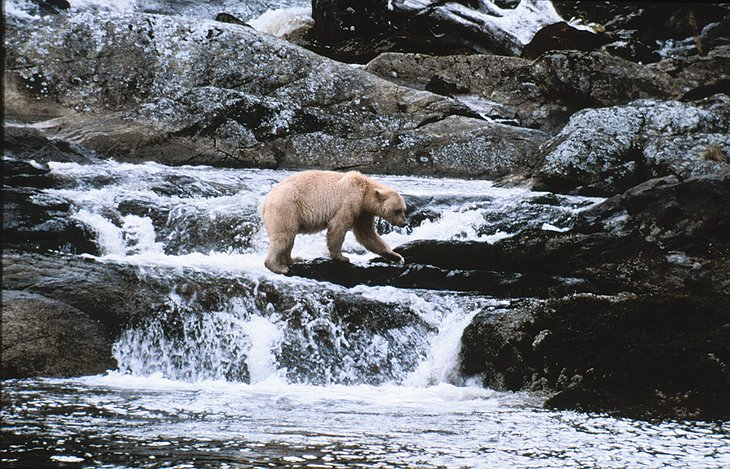 Bear trying to catch fish