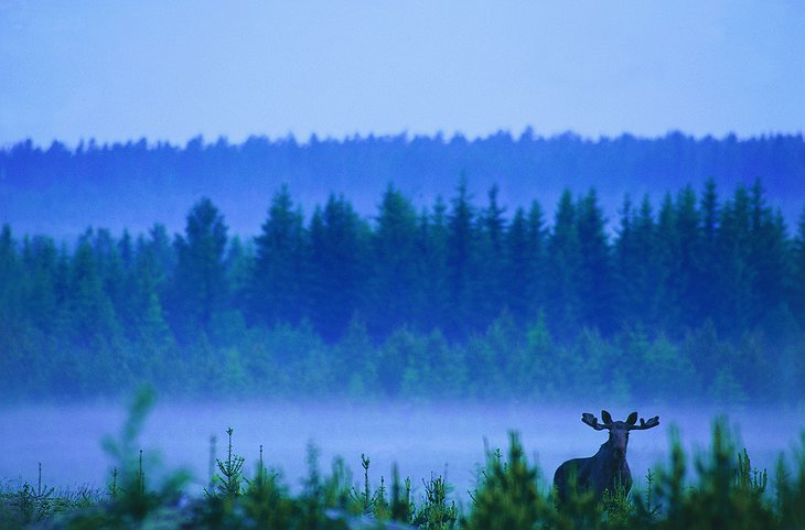 Fog and moose in the forest